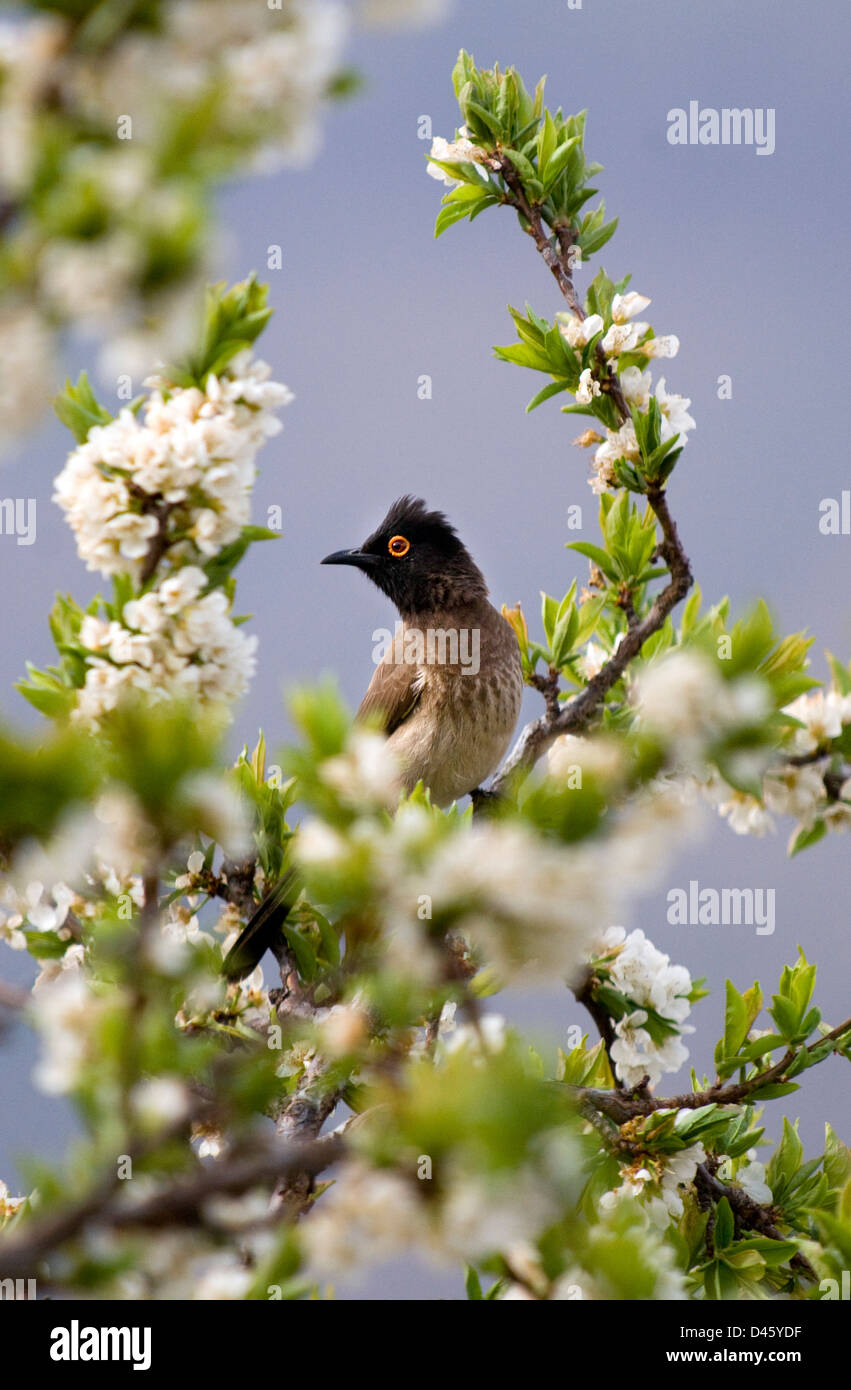 african red-eyed bulbul,pycnonotus capensis,lesotho,africa Stock Photo
