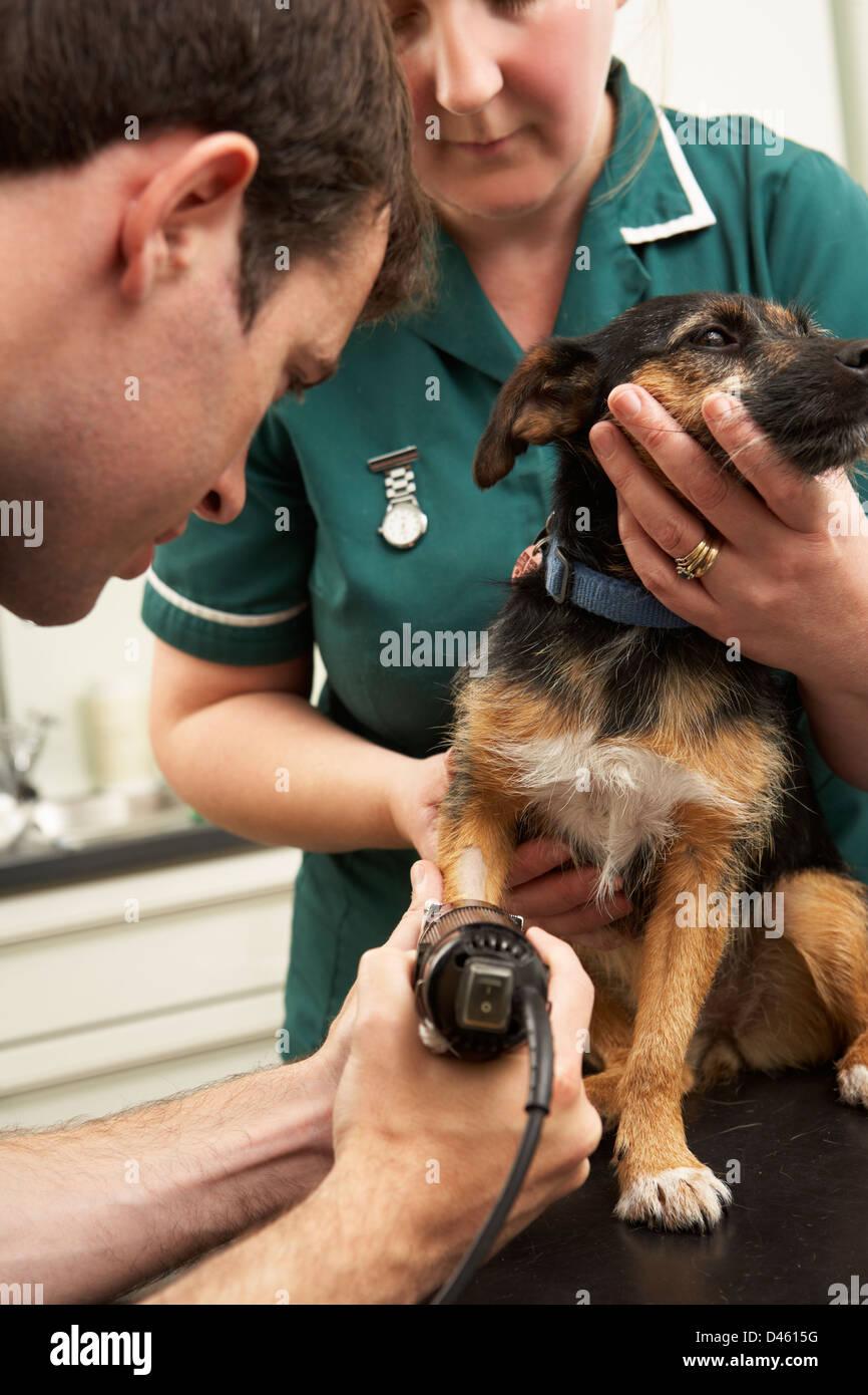 Male Veterinary Surgeon And Nurse Examining Dog In Surgery - Stock Image