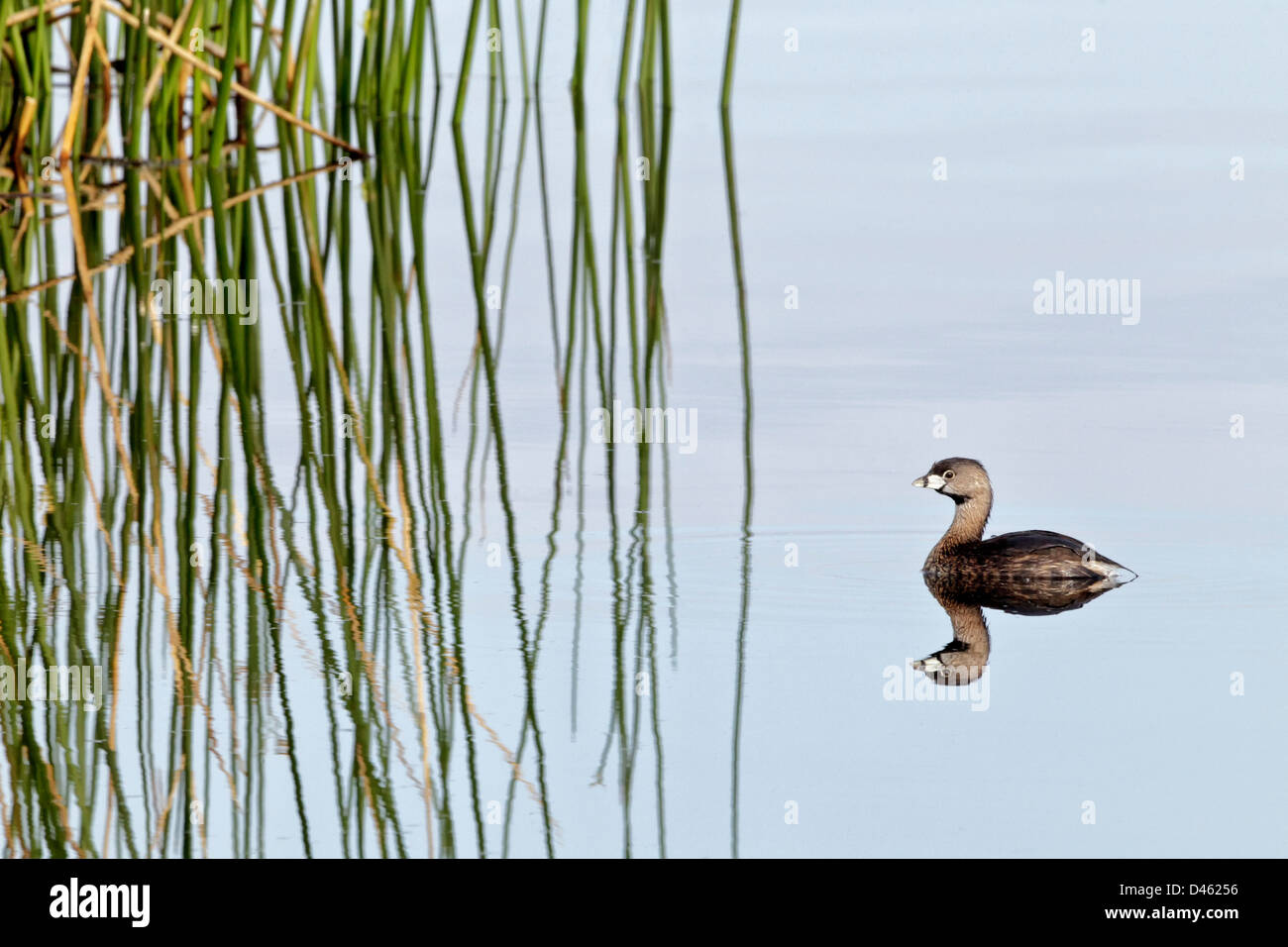 Pied billed Grebe swimming on inland waters - Stock Image