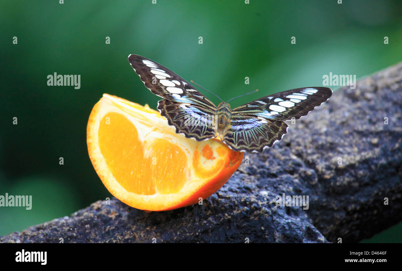 Butterfly, Singapore Zoo, - Stock Image