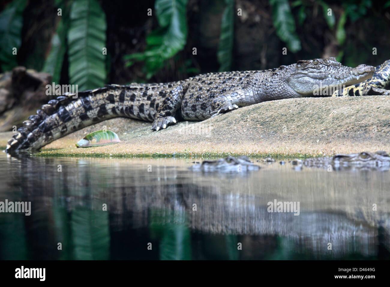 Saltwater crocodile, crocodylus porosus, Singapore Zoo, - Stock Image