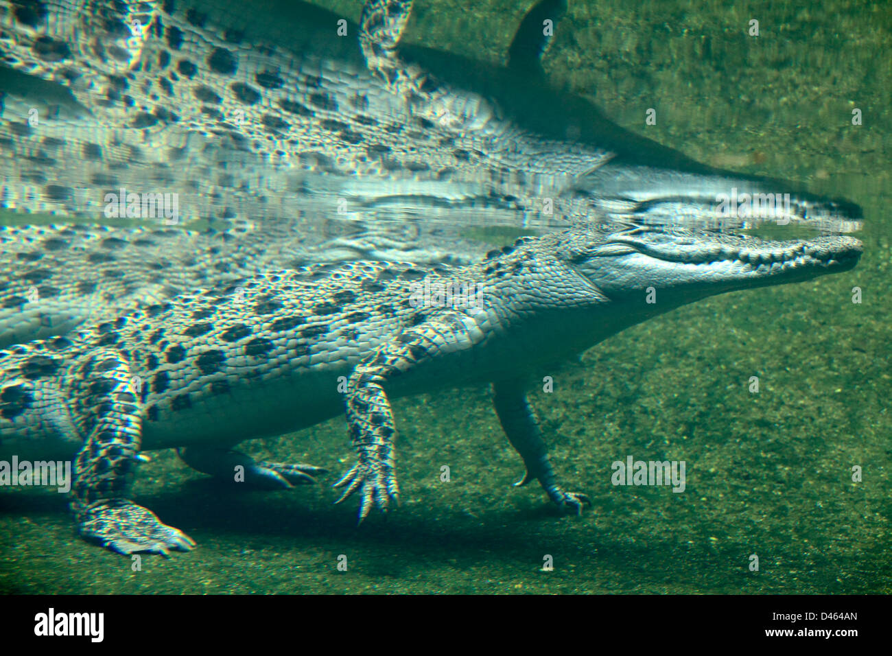 Saltwater crocodile, crocodylus porosus, underwater view, Singapore Zoo, - Stock Image