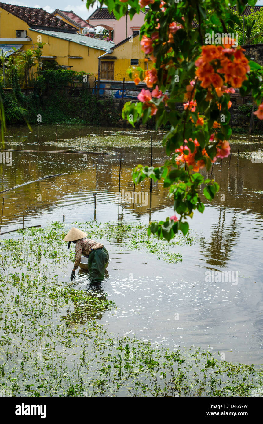 planting rice or edible water plants in Hoi An, Vietnam - Stock Image