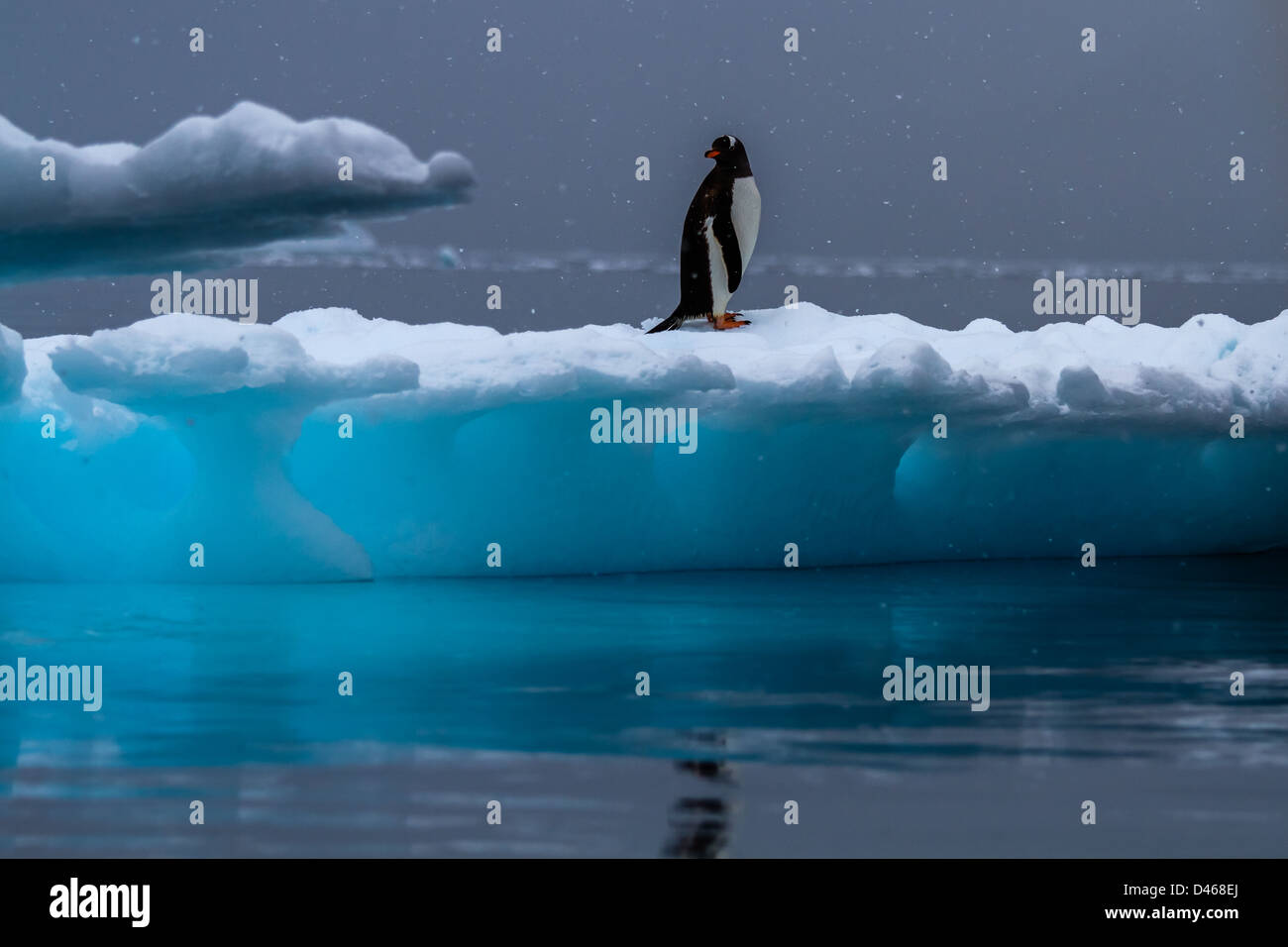 Wildlife watching - Solitary Gentoo penguin standing on a blue iceberg while it's snowing, Antarctica - Stock Image