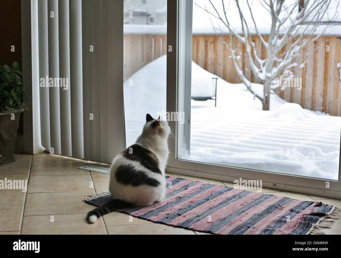 A cat looks longingly out a window at a snow covered yard. - Stock Image