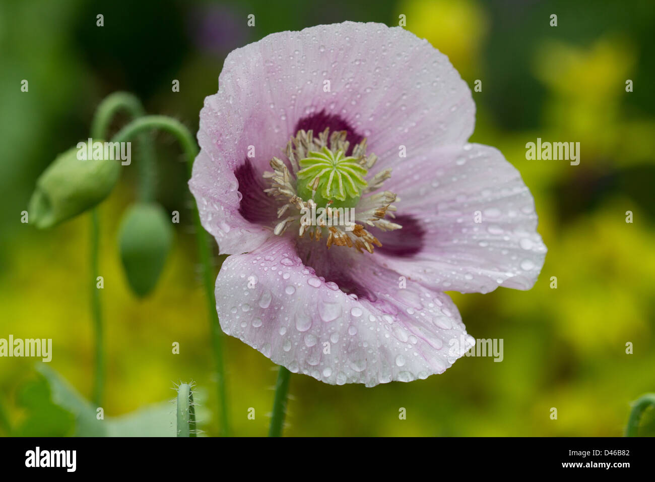 Purple Lilac Opium Poppy Flower Stock Photos Purple Lilac Opium