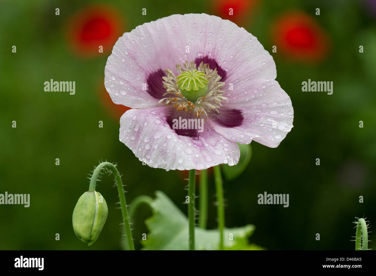 Purple And Lilac Opium Poppy Flower In Garden In England Stock Photo