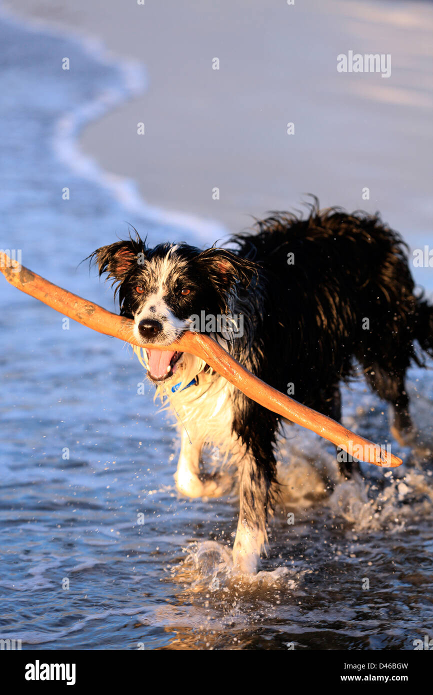 Young border collie dog fetching stick on beach - Stock Image