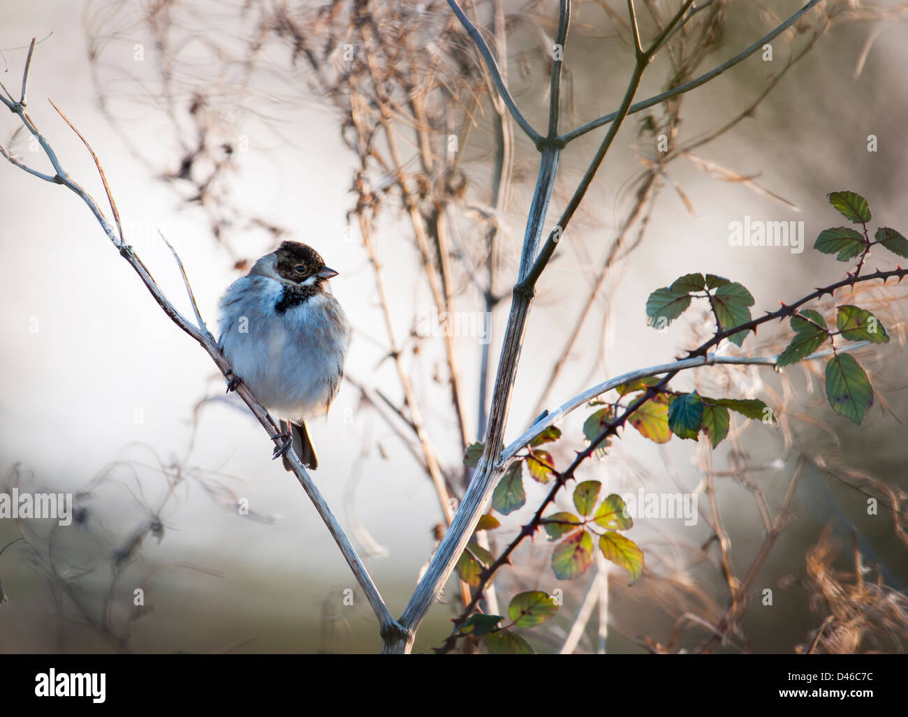Reed Bunting perched in a hedgerow - Stock Image