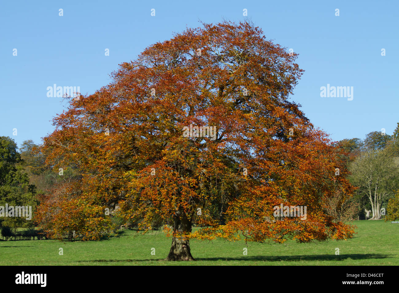 European beech tree,  fagus sylvatica, in autumn colours. - Stock Image
