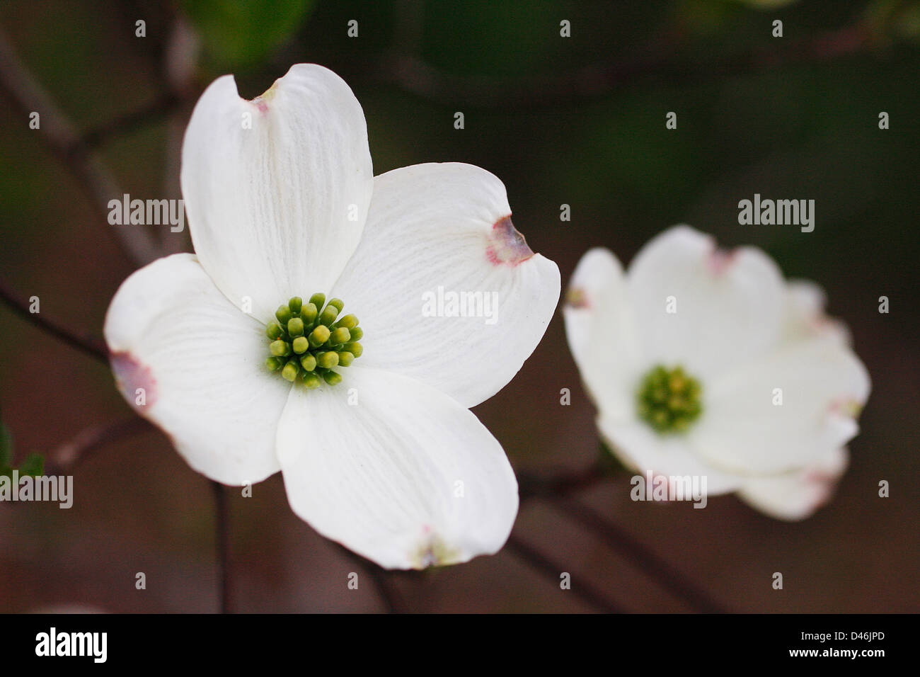A close up of a Dogwood flower in bloom. The dog wood is North Carolina's State flower. Stock Photo