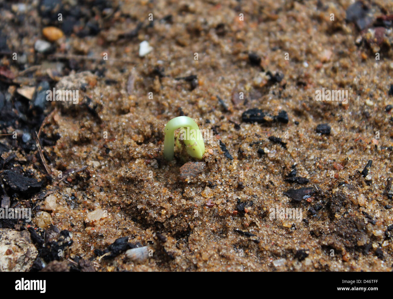 Initial growth of a bitter gourd seed - Stock Image
