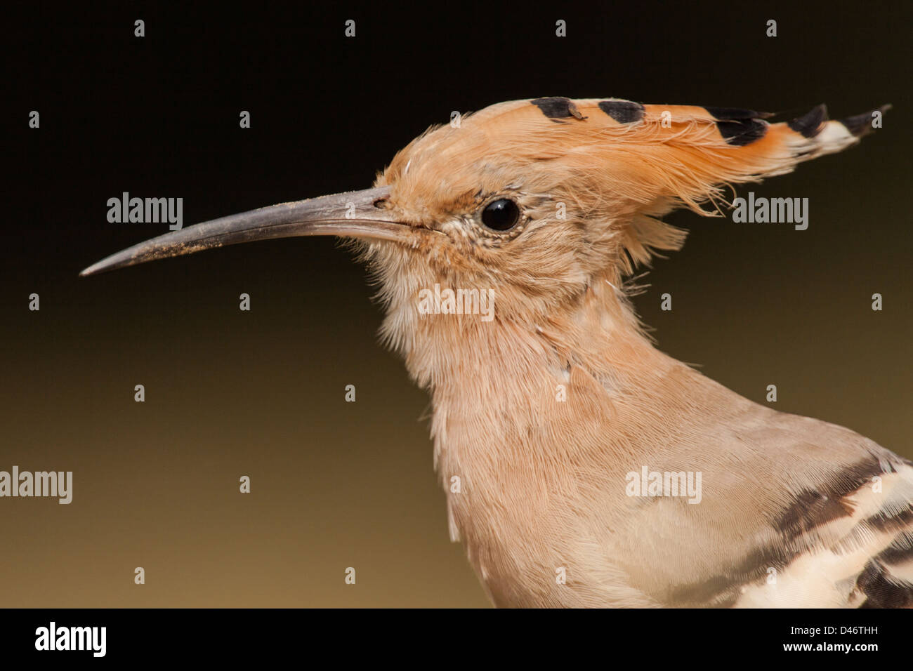 A Closeup portrait of Hoopoe Upupa epops with clean background in Keoladeo Ghana Bird Sanctuary, Bharatpur, India - Stock Image