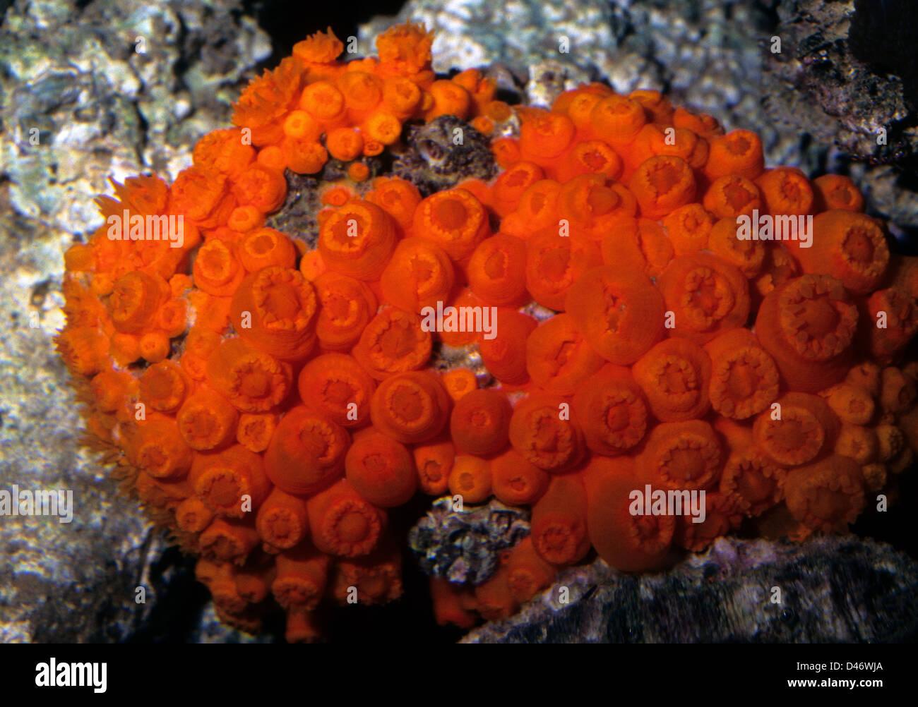 Sun Coral Tubastrea coccinea, Dendrophyllidae Indo-pacific ocean - Stock Image