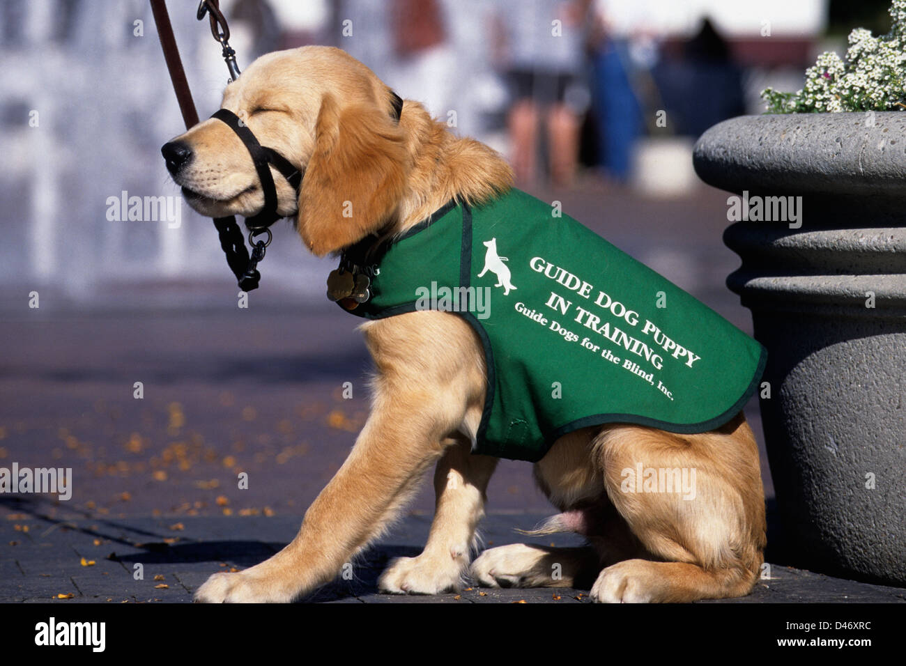 Guide dog puppy in training (golden retriever/yellow Lab mix