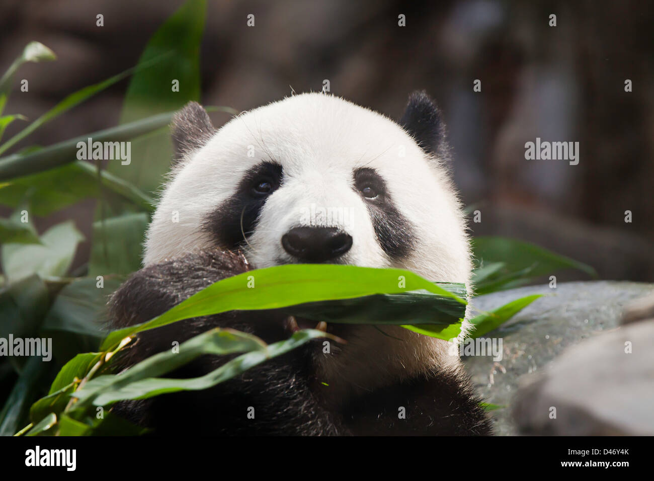 The Giant Panda, Ailuropoda melanoleuca, is a bear native to central-western and south western China. - Stock Image