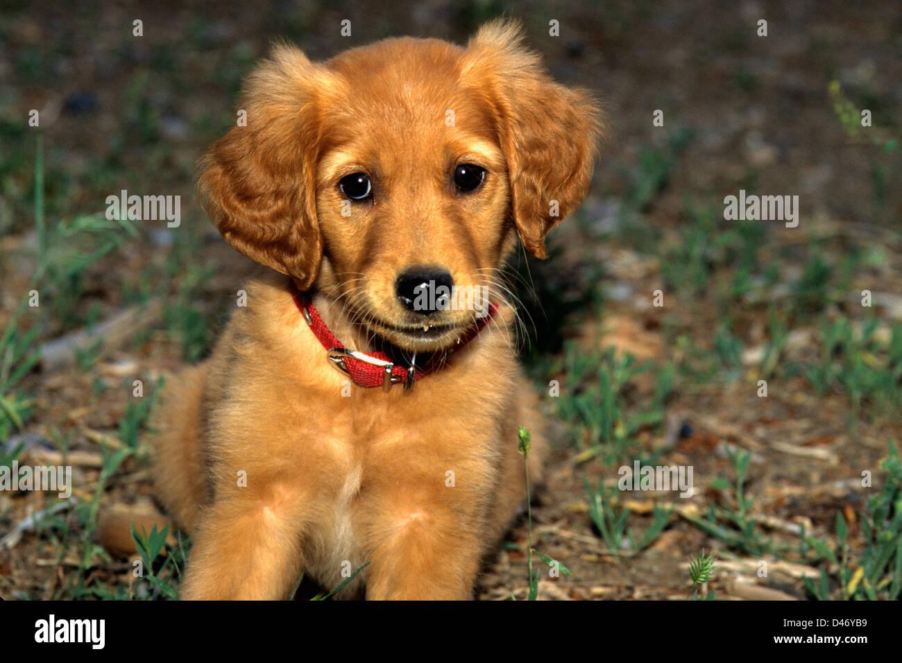 Three Month Old Golden Retriever Puppy Stock Photos Three Month