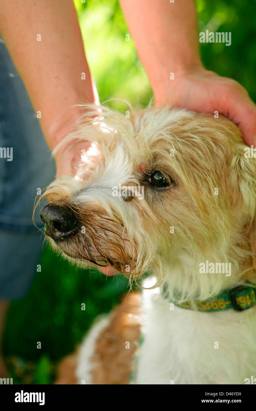 Mixed Breed Dog With An Engorged Tick In Its Face Stock