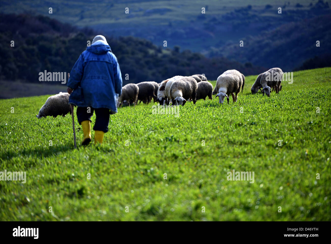 old shepherd's hand sticks and sheep - Stock Image