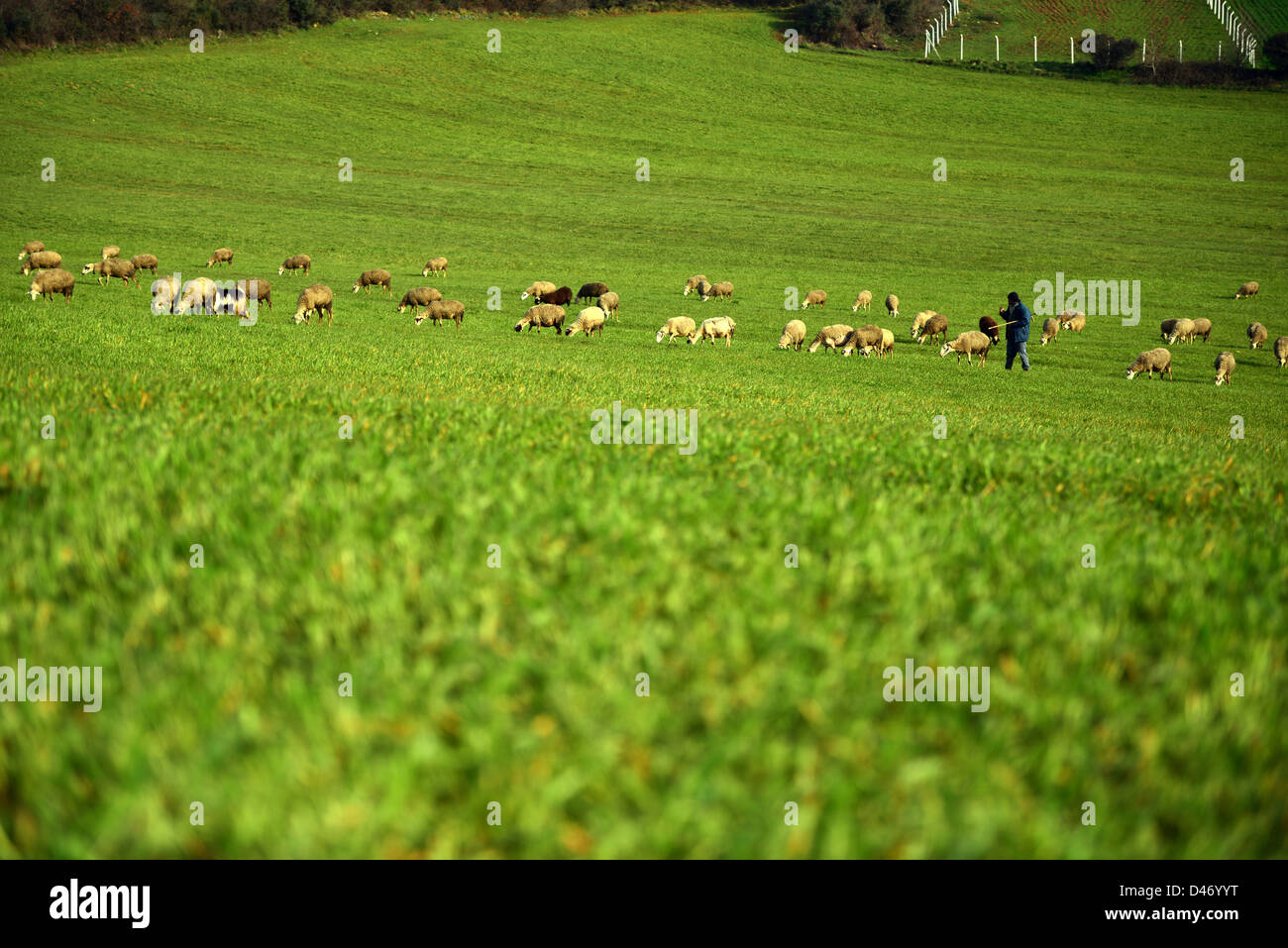 green meadow and Sheep Grazing - Stock Image