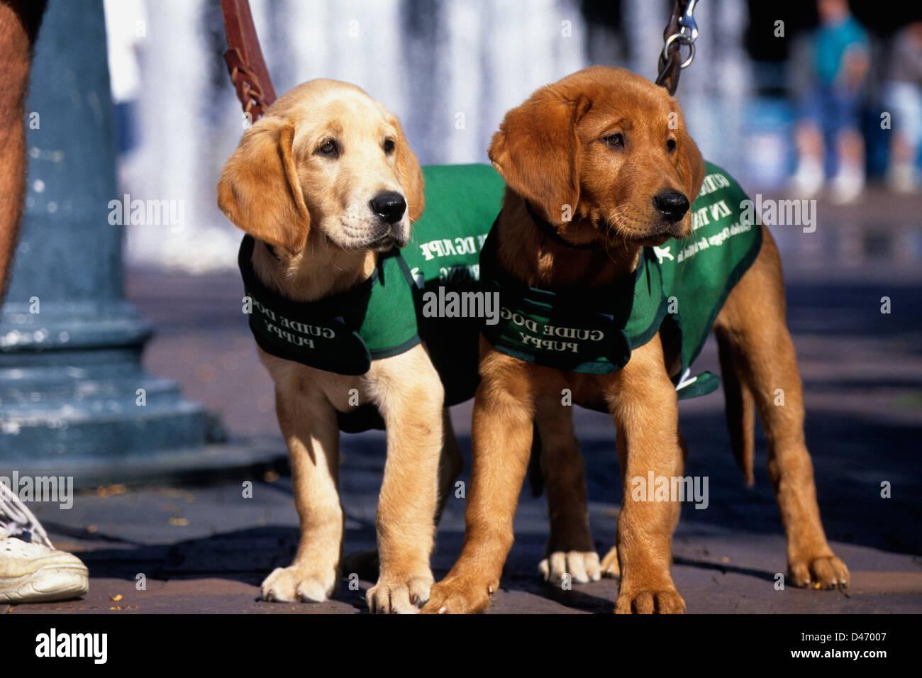 Guide Dog Training Stock Photos & Guide Dog Training Stock Images
