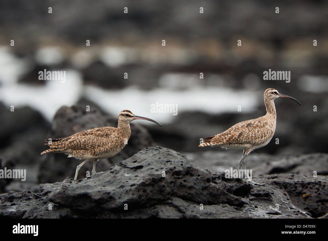 The Whimbrel, Numenius phaeopus hudsonicus, is a wader in the large family Scolopacidae, Santa Cruz Island, Galapagos, - Stock Image