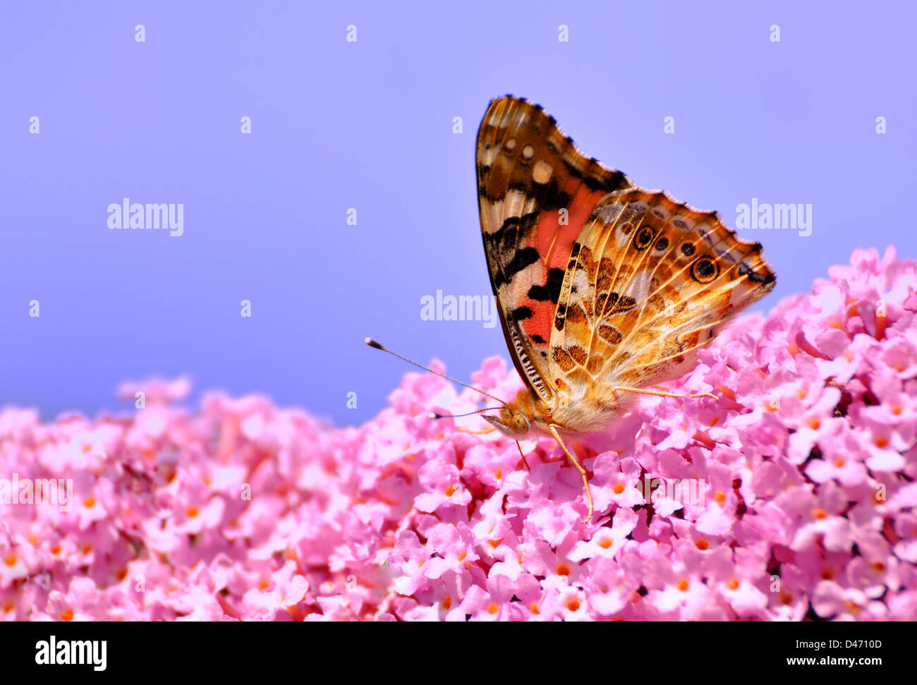 A Painted Lady on Lilac flower. - Stock Image