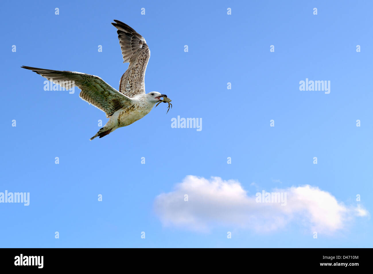Seagull in flight with crab in its beak. - Stock Image