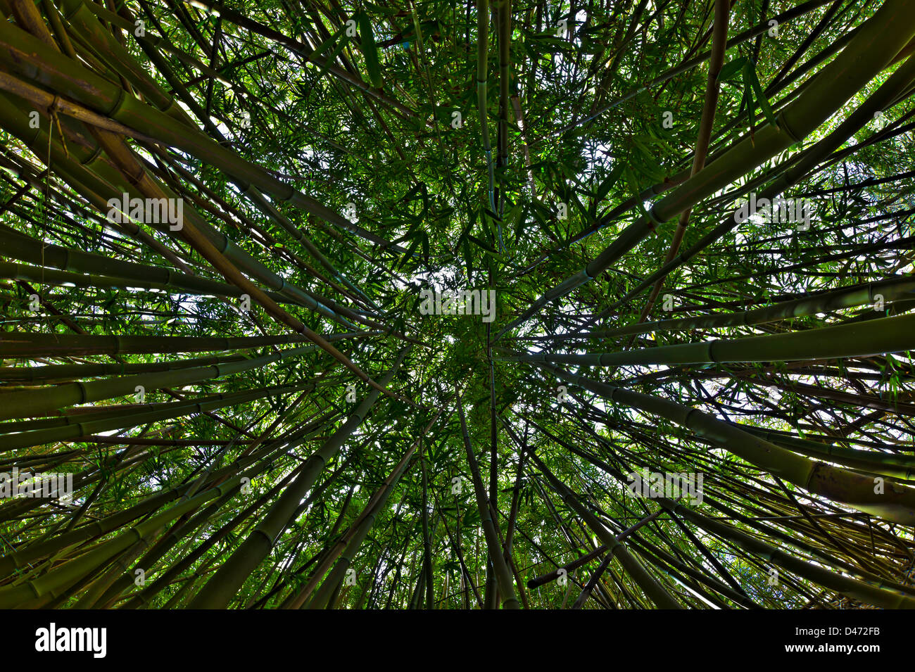 View upward toward treetops in a bamboo forest in the West Maui Mountains, Hawaii. Stock Photo
