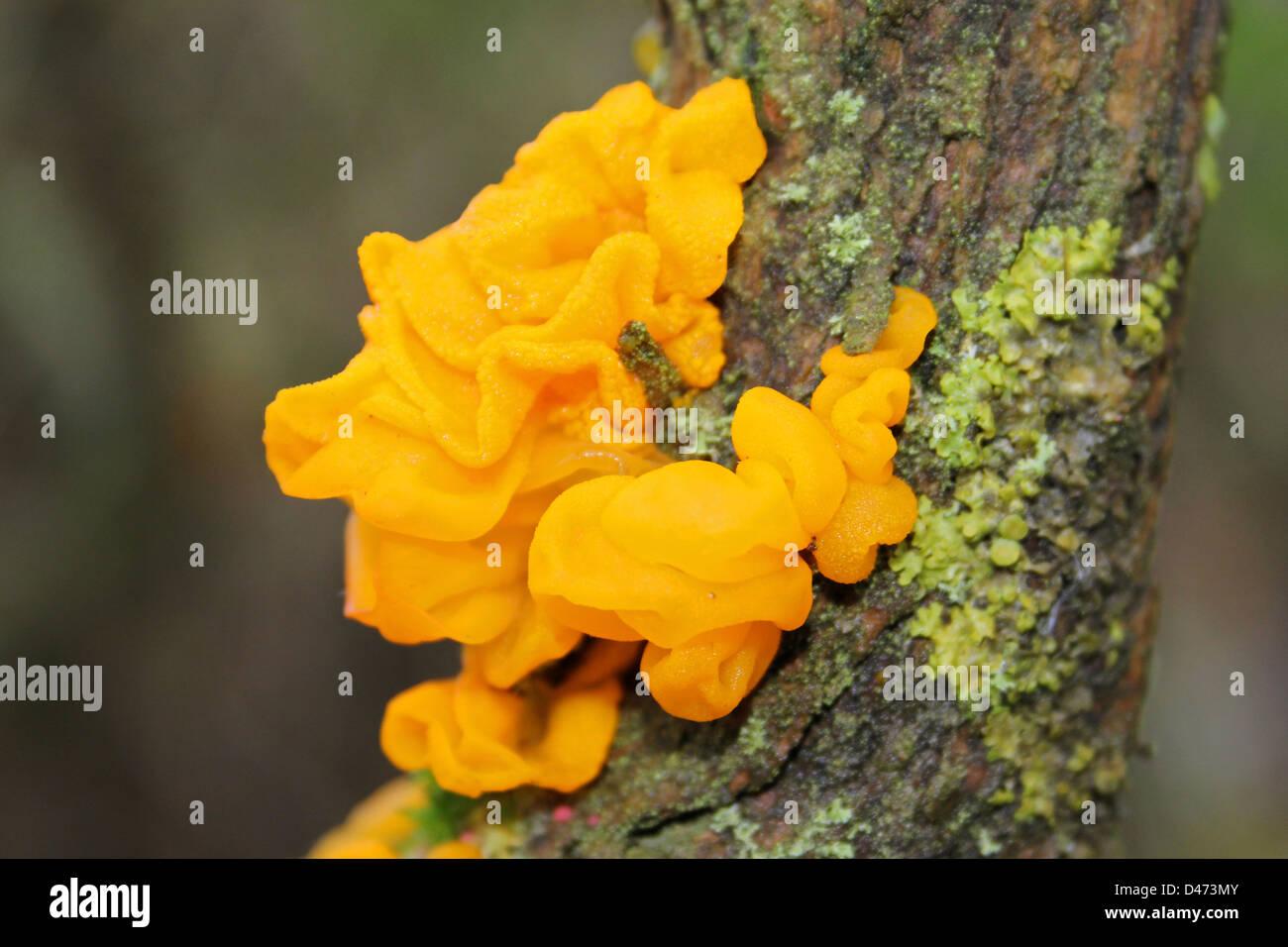 Yellow Brain Fungus Tremella mesenterica - Stock Image