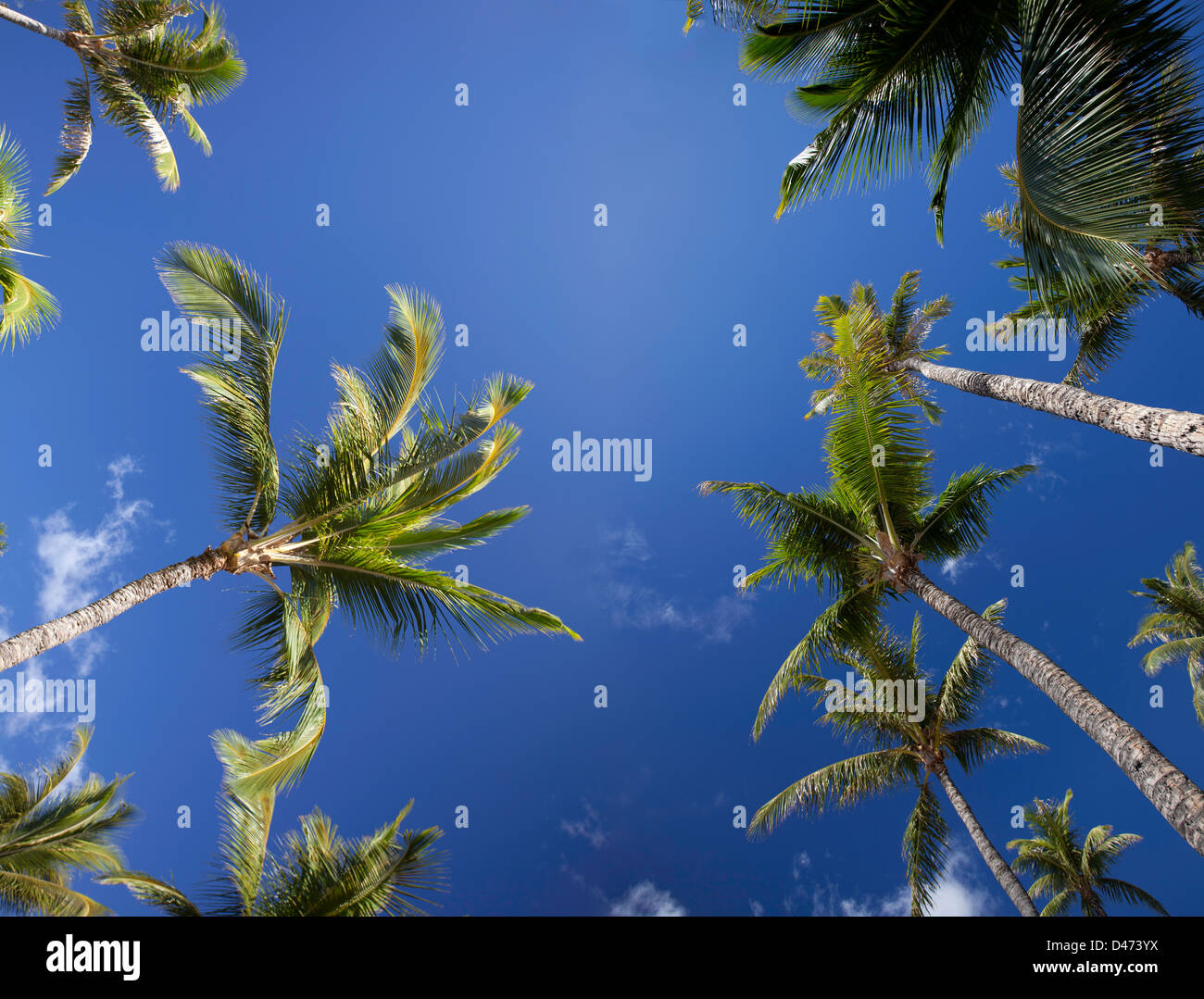 A view from below of palm trees and blue sky, Maui, Hawaii. - Stock Image