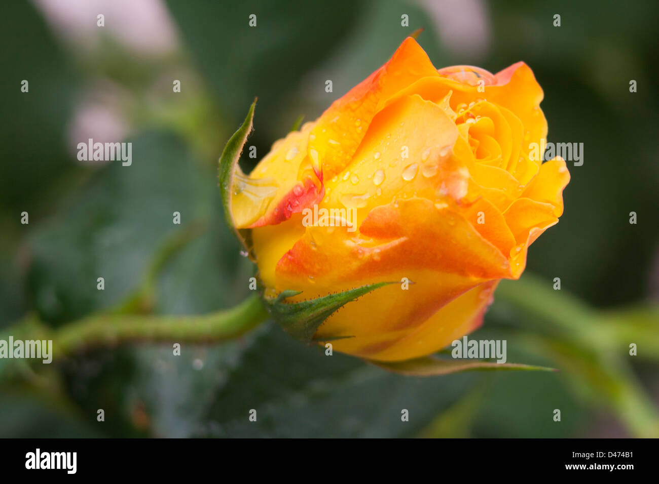Closeup of the yellow rose flower with rain drops. - Stock Image