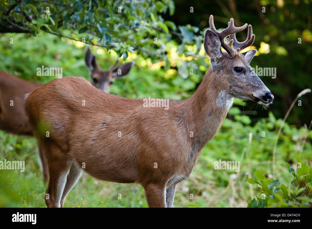 The mule deer or black-tailed deer, Odocoileus hemionus, British Columbia, Canada. - Stock Image