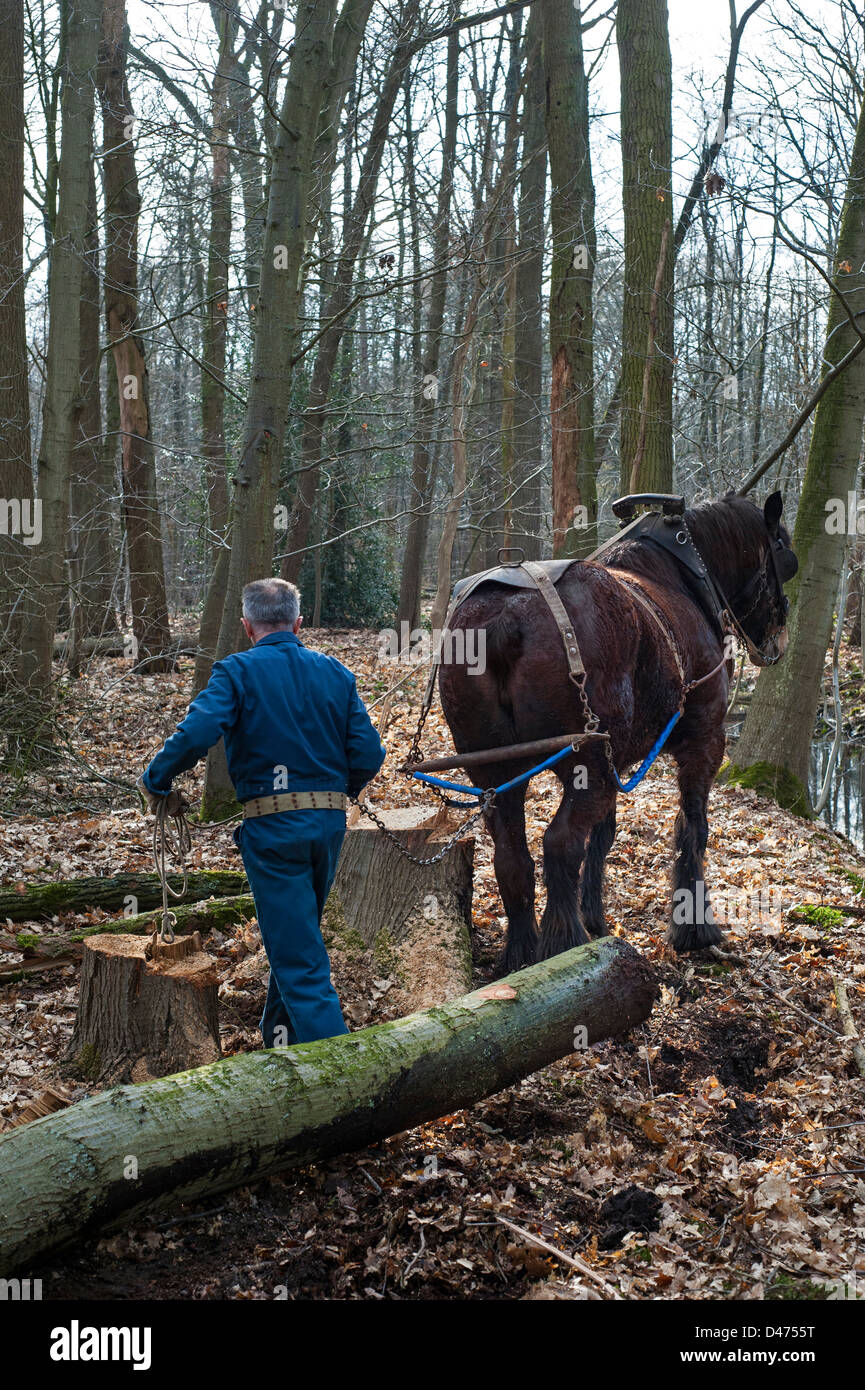 Forester pulling tree trunk / logs from forest with Belgian Draft horse / Brabant Heavy Horse (Equus caballus), - Stock Image