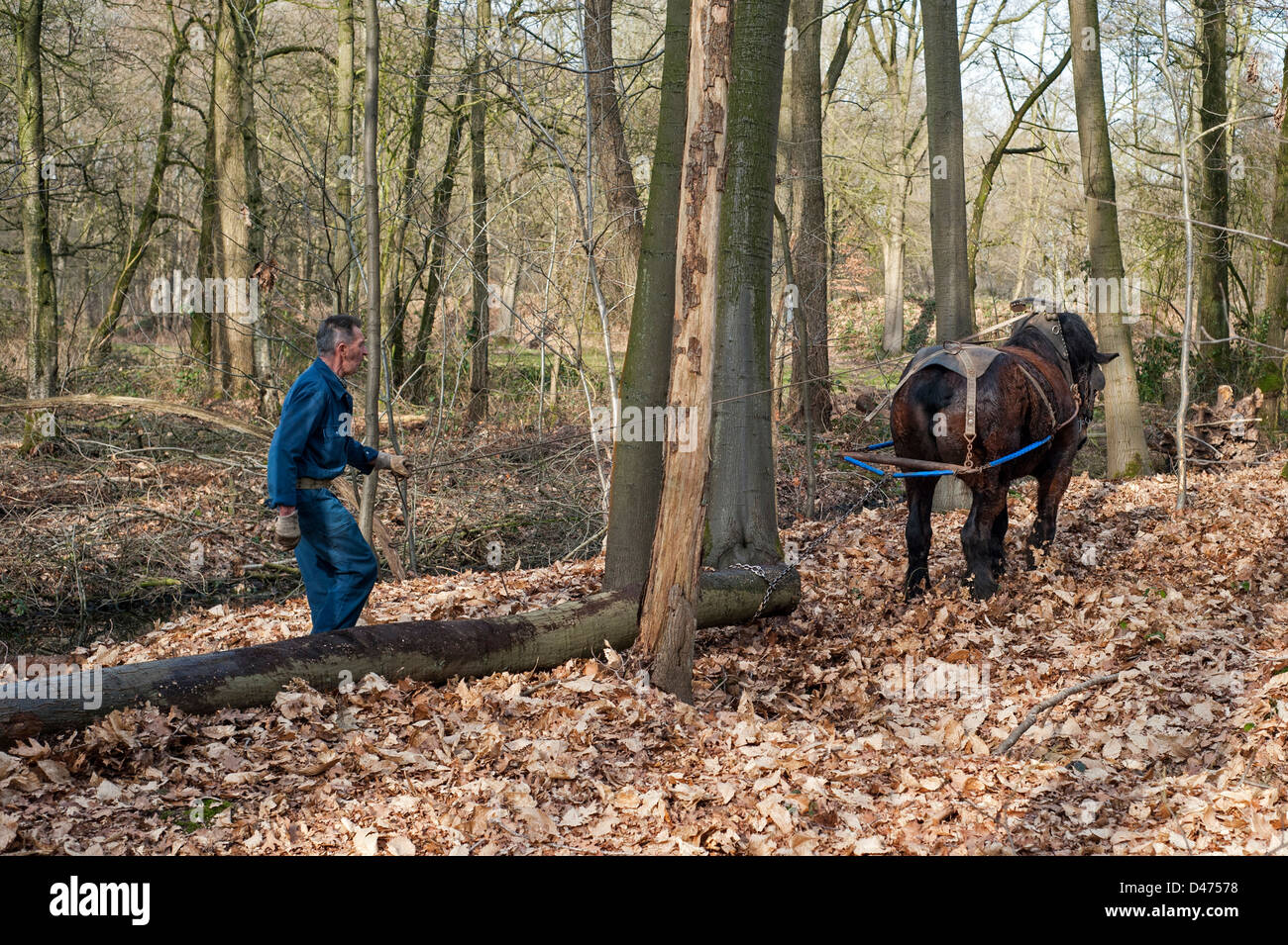 Forester dragging tree trunks / logs from forest with Belgian Draft horse / Brabant Heavy Horse (Equus caballus), - Stock Image