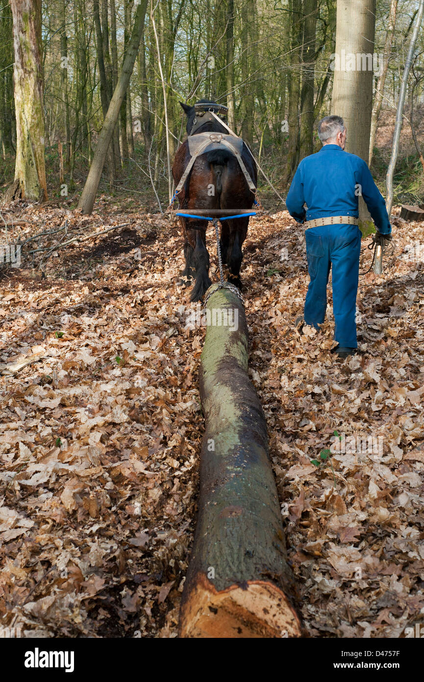 Lumberer dragging tree trunk / log from forest with Belgian Draft horse / Brabant  Heavy Horse (Equus caballus), - Stock Image