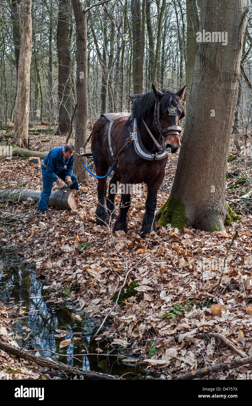 Forester dragging tree trunk from forest with Belgian Draft horse / Brabant Heavy Horse (Equus caballus), Belgium - Stock Image