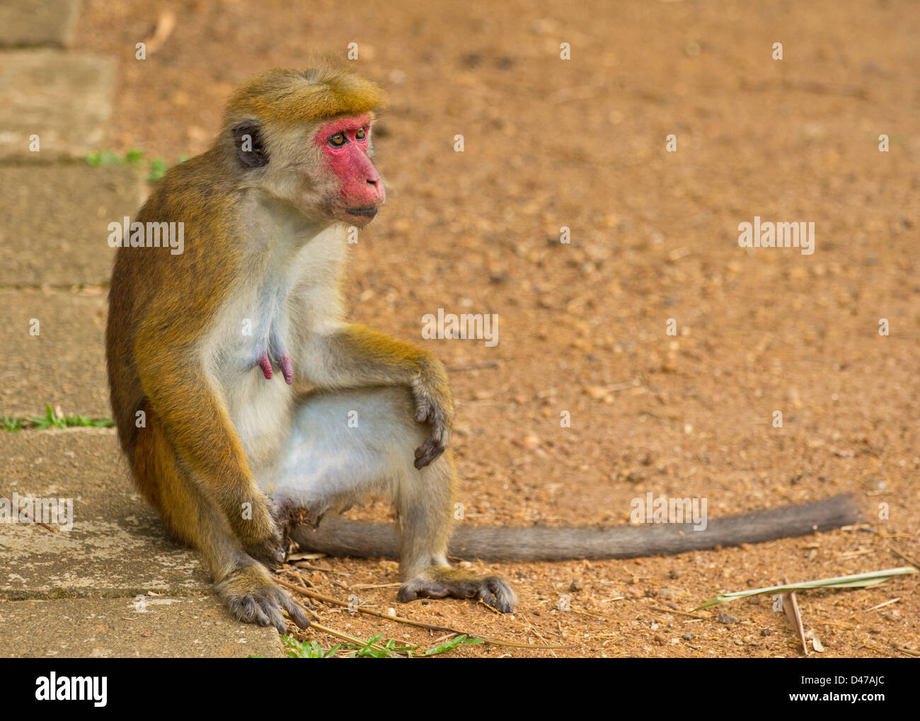 TOQUE MONKEY (Macaca sinica)  INDIGENOUS TO SRI LANKA - Stock Image