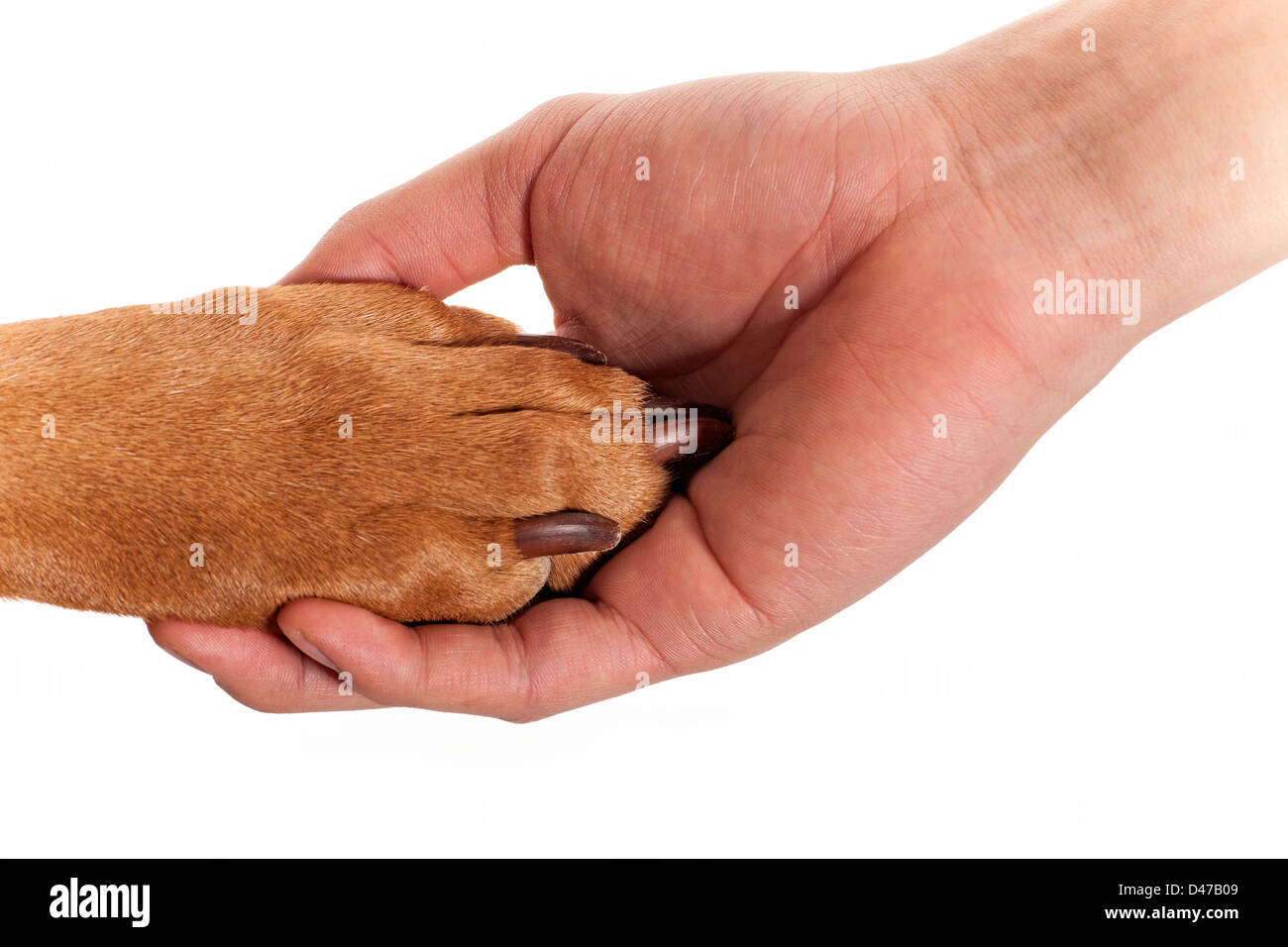 dog resting paw in human palm isolated on white background - Stock Image