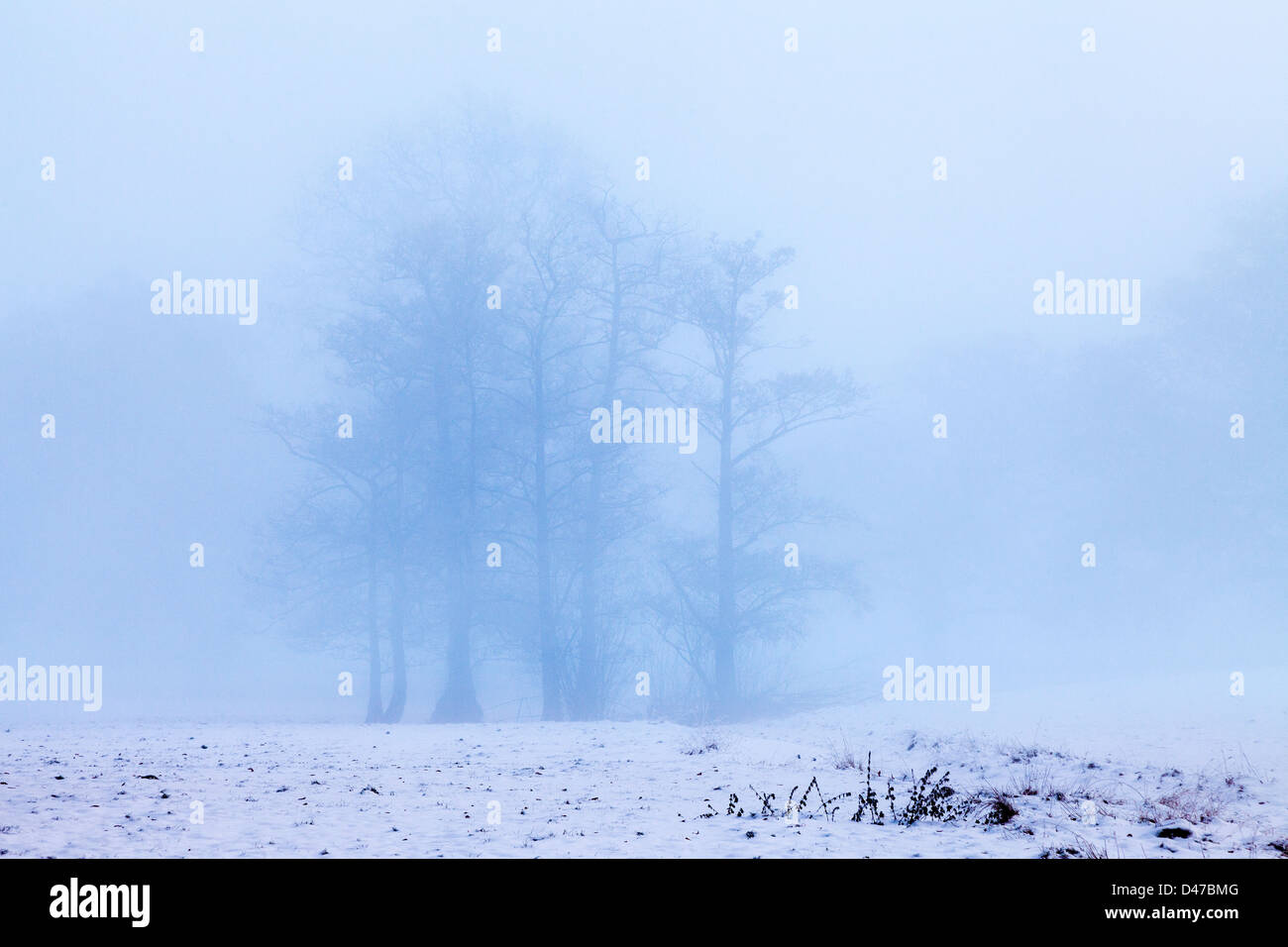 Clump of trees on misty morning with snow covered field on Boxing Day. UK - Stock Image