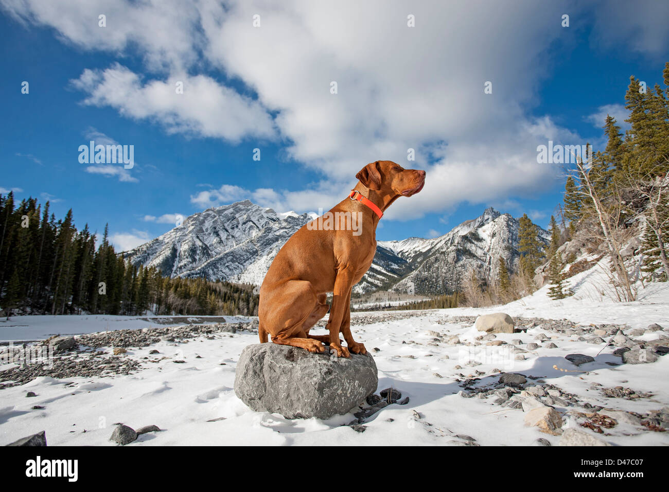 pure breed gold colour dog sitting on the top of a rock in winter setting with mountains ad cloudy skies in the - Stock Image