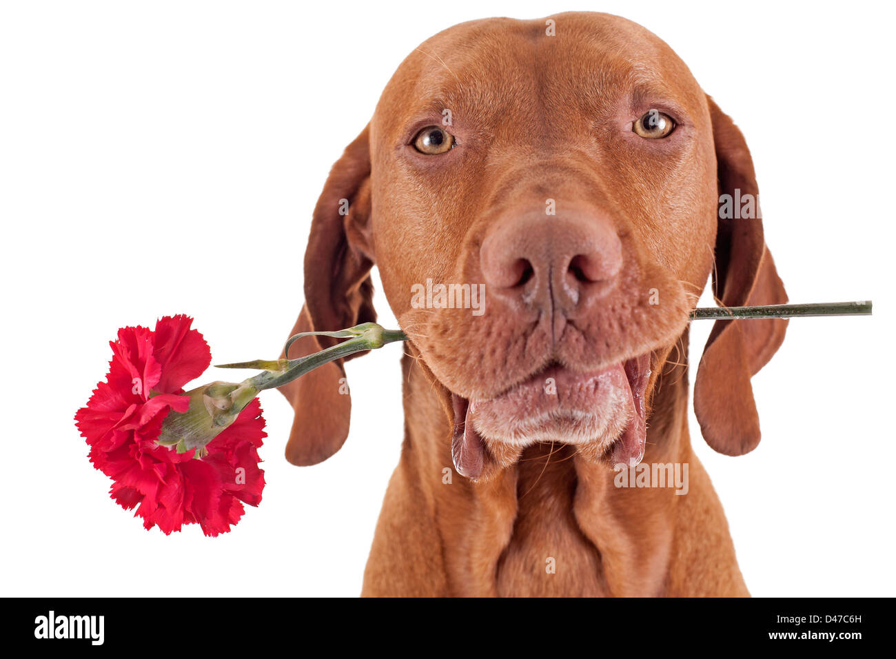 pure breed hunting dog holding a red carnation flower in the mouth isolated on white background - Stock Image