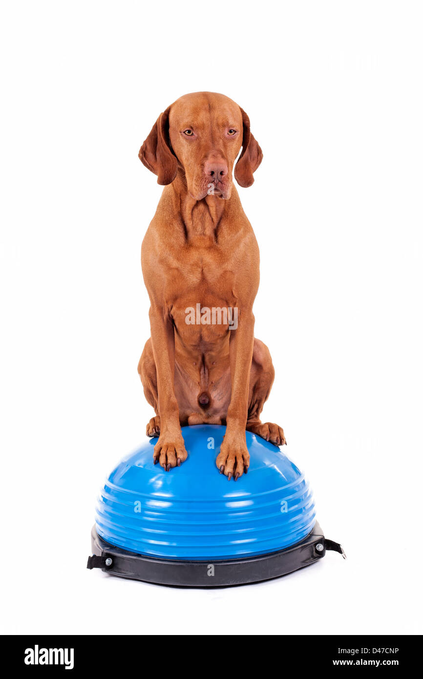 dog sitting balanced on the top of exercise ball on white background - Stock Image