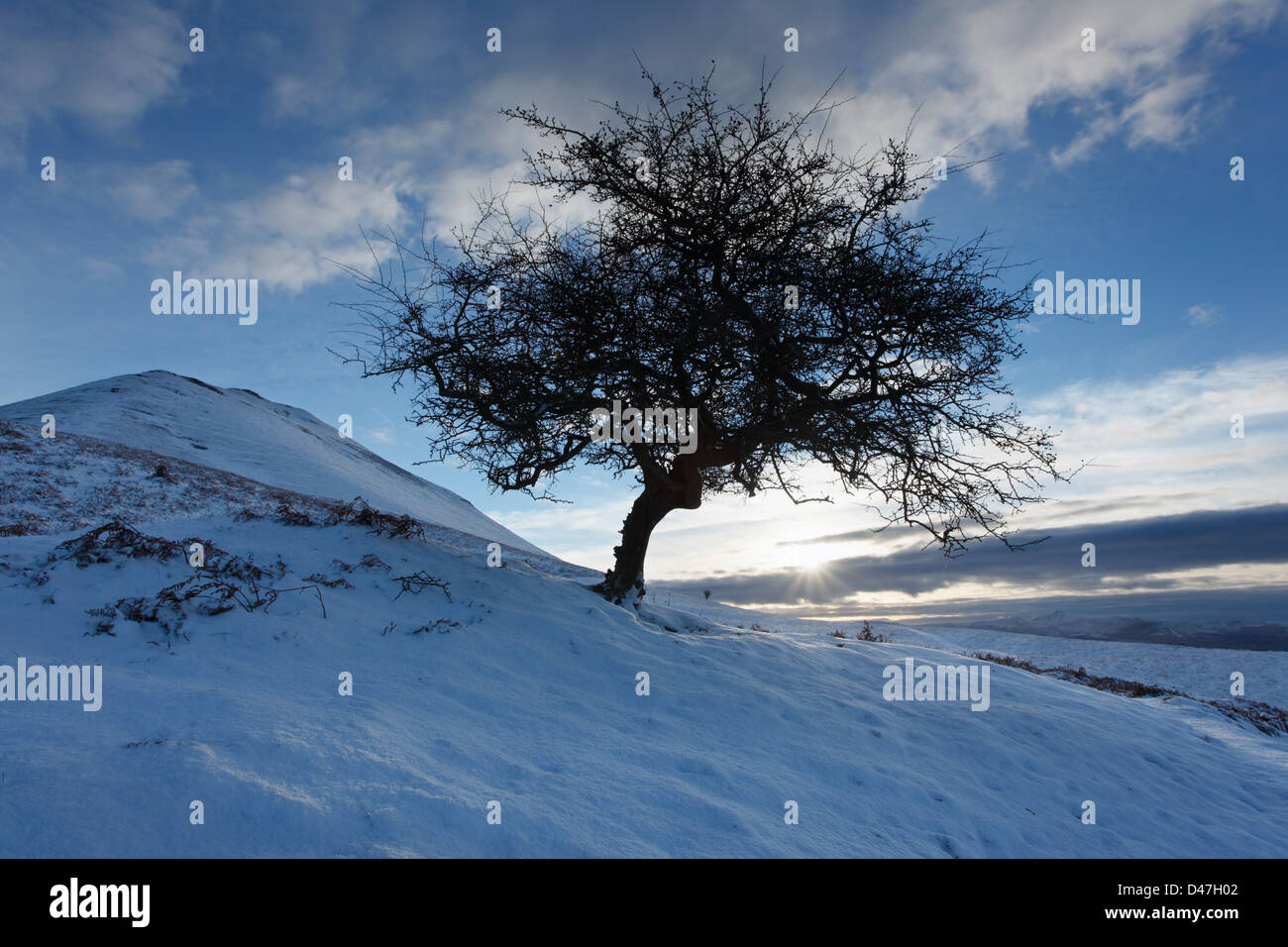 Hawthorn Tree on the side of Mynydd Troed. Brecon Beacons National Park. Powys. Wales. UK. - Stock Image