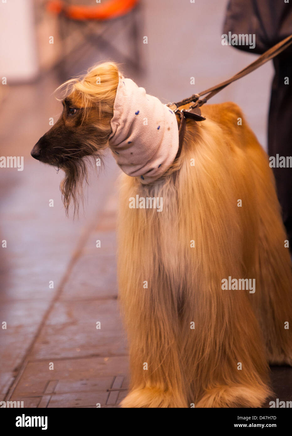 NEC, Birmingham, UK. 7th March 2103. Striking a handsome pose at Crufts. Credit:  Chris Gibson / Alamy Live News - Stock Image