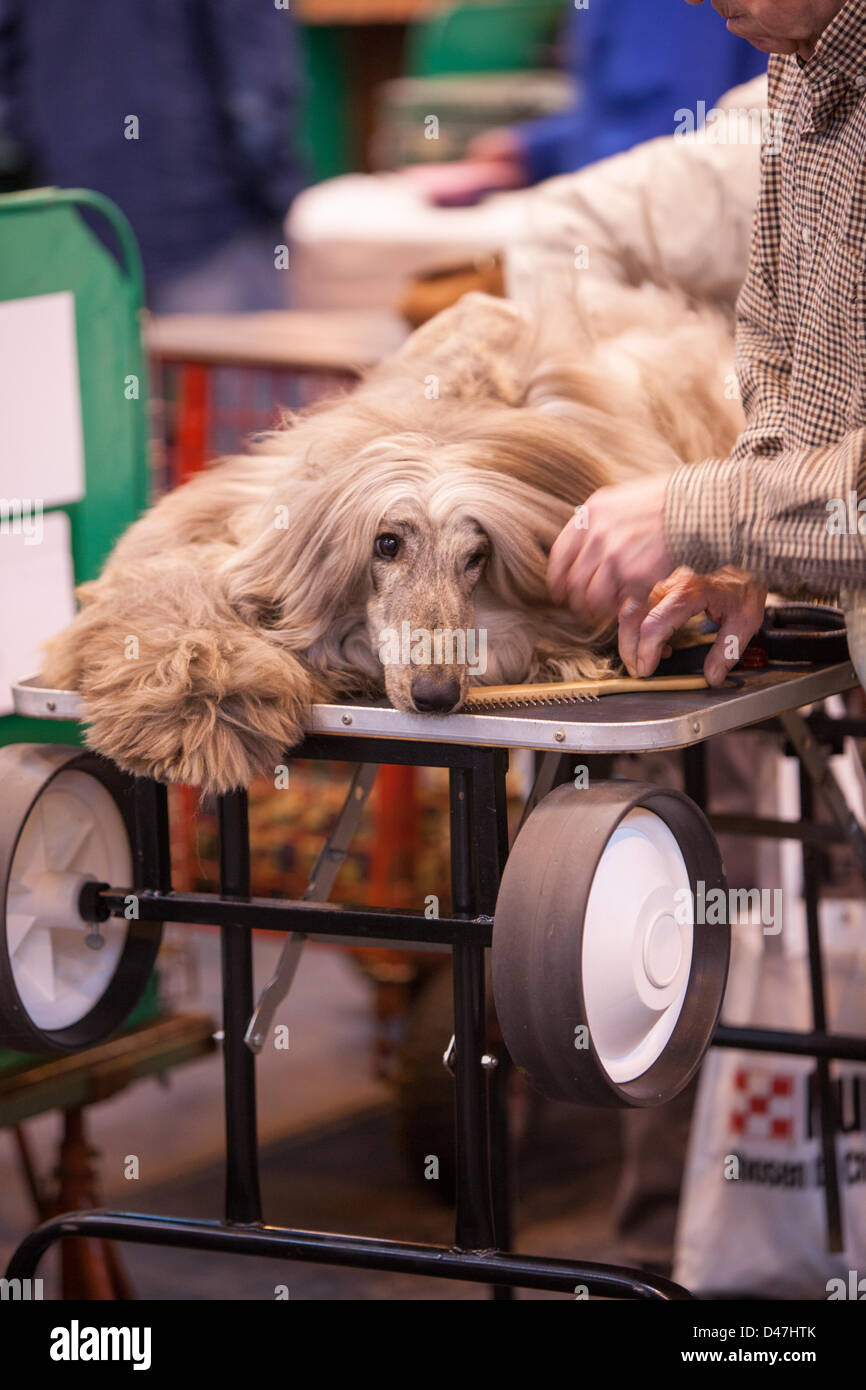 NEC, Birmingham, UK. 7th March 2103. This is the life, a dog relaxes before the show at Crufts. Credit:  Chris Gibson - Stock Image