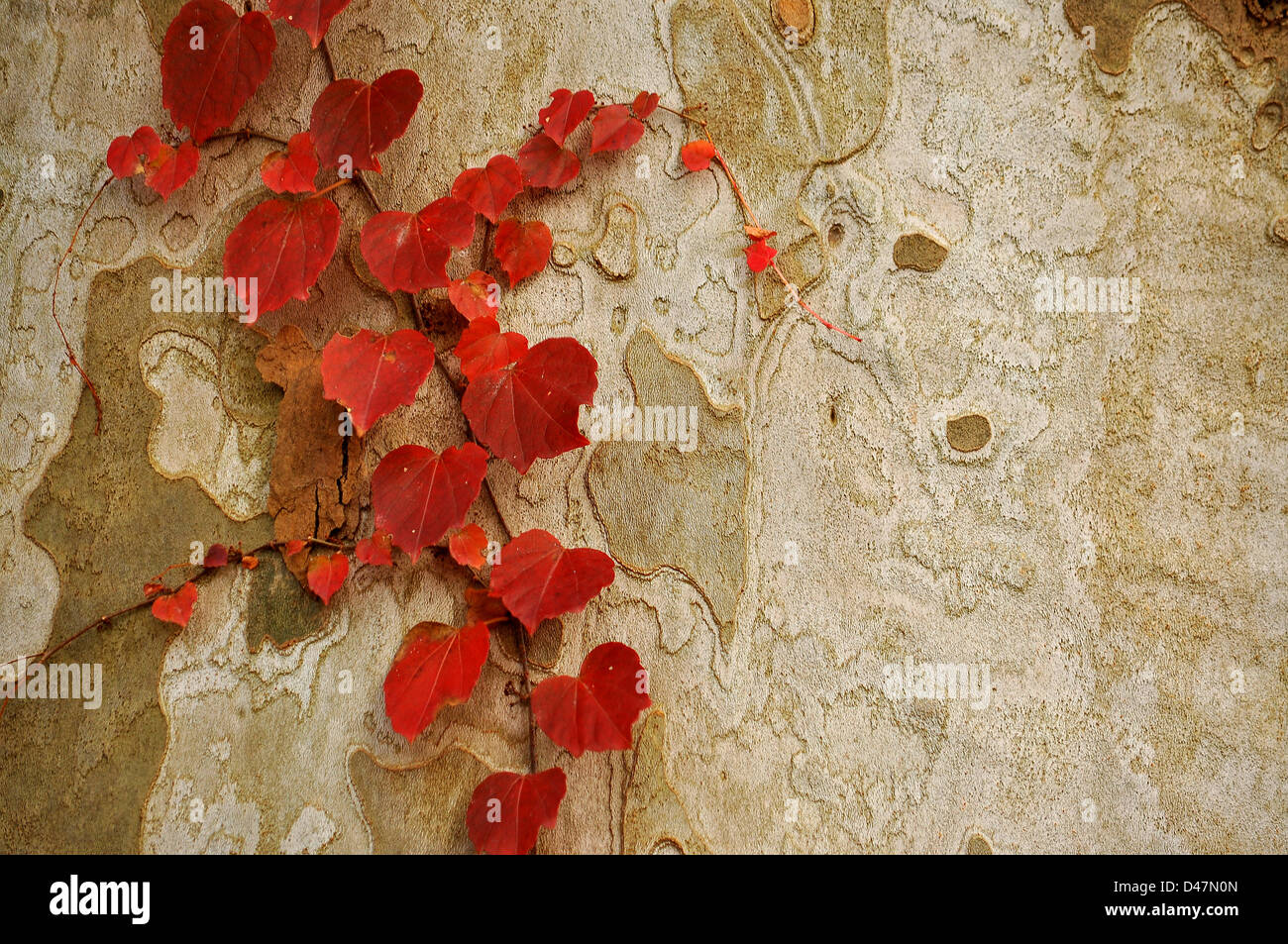 An abstract photo of red leaves growing on the brownish grayish bark of a tree. - Stock Image