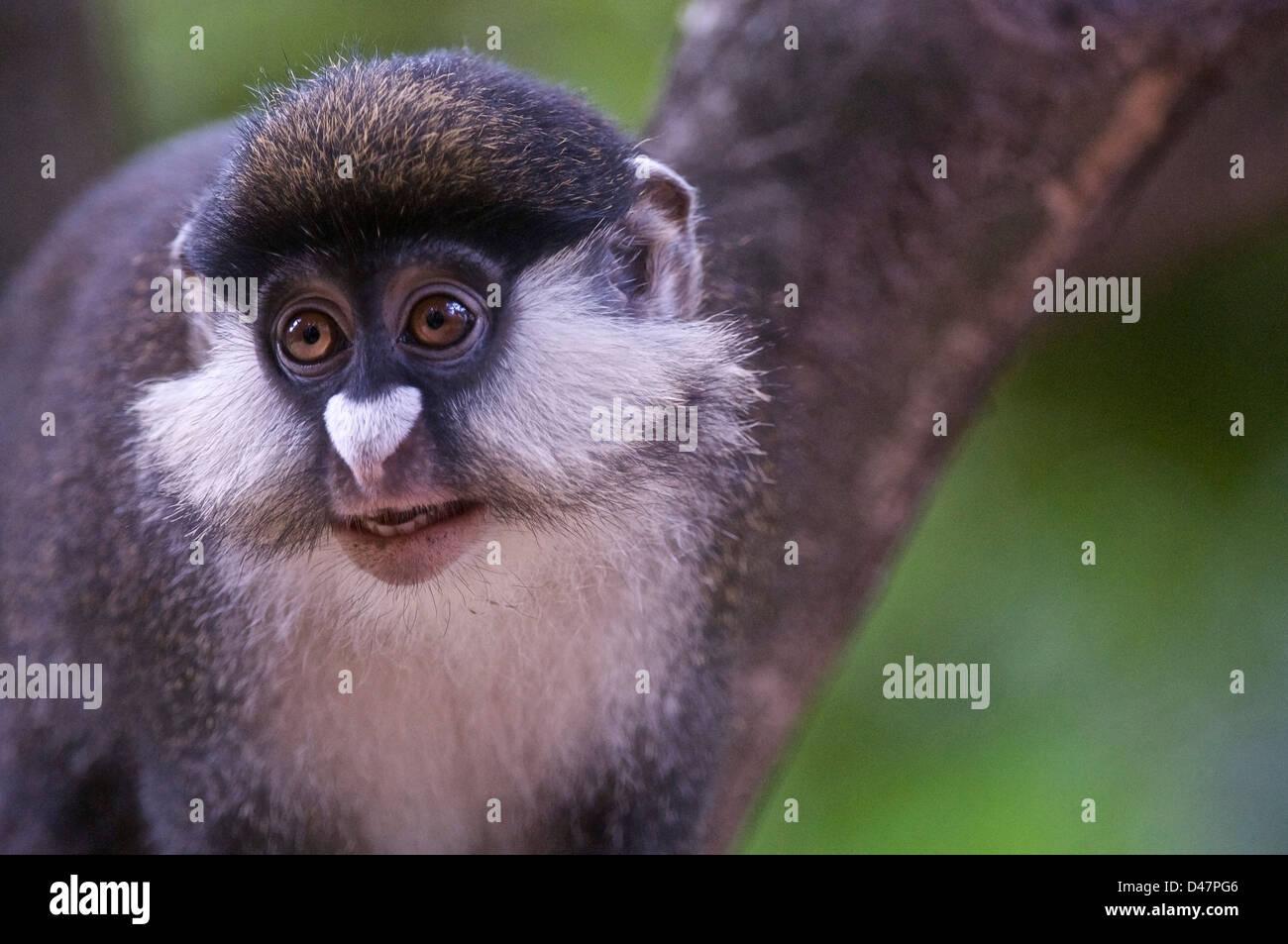 Red-Tailed Monkey, Cercopithecus ascanius. - Stock Image