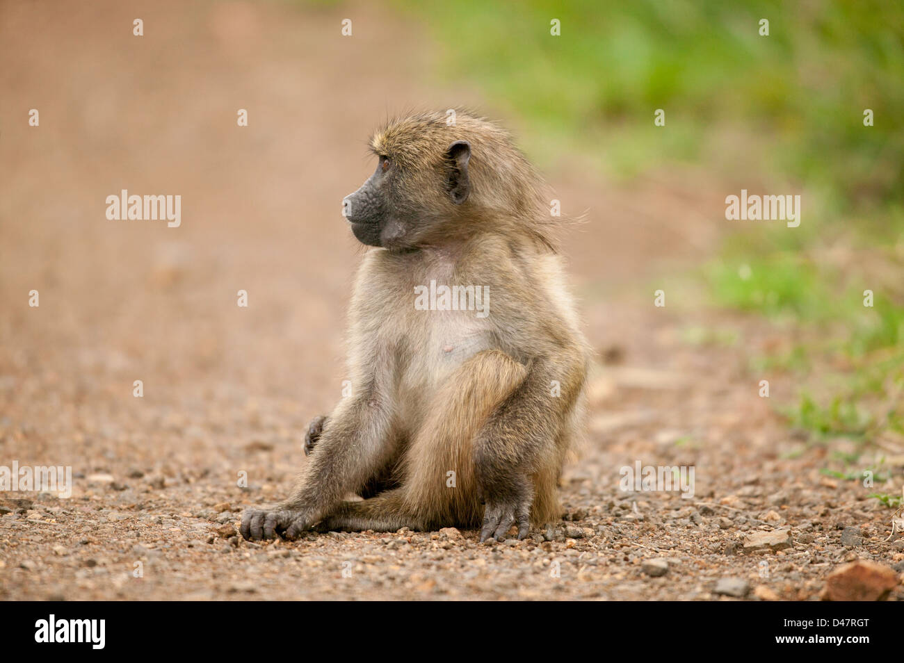 Chacma baboon or Cape baboon (Papio ursinus), sitting scratching nonchalantly looking to the side - Stock Image