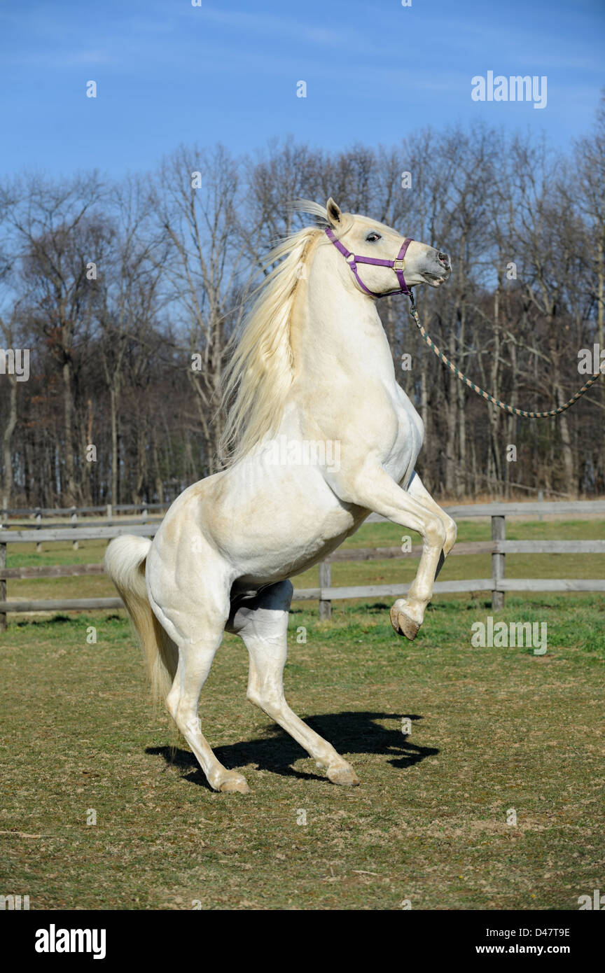 White horse rearing up, an Arabian stallion showing his natural power, form, and poise while performing a trick. - Stock Image